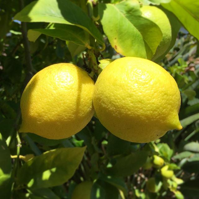 Two perky lemons