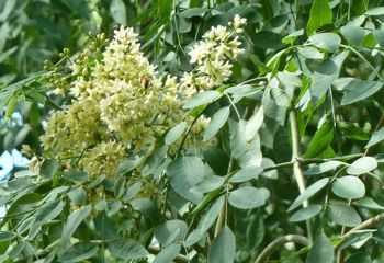 Moringaöl wird aus dem Moringabaum gewonnen