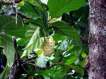 Der Noni Baum hat grüne, glänzende, riesige Blätter und beeindruckende Blüten