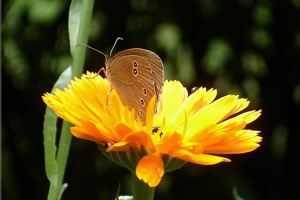 Pflanzen statt Antibiotika - die Ringelblume